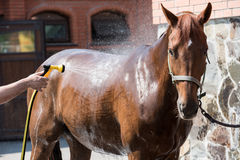 Person washing brown purebred horse outdoors. Cropped shot of person washing brown purebred horse outdoors Stock Photo
