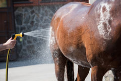 Person washing brown purebred horse outdoors. Cropped shot of person washing brown purebred horse outdoors Royalty Free Stock Photo
