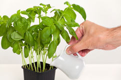 Person watering a basil plant. With a small jug Royalty Free Stock Image