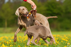 Person with Weimaraner adult dog and puppy Royalty Free Stock Photos