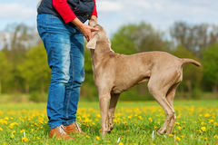 Person with Weimaraner adult dog and puppy Stock Photo
