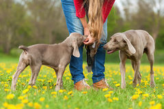 Person with Weimaraner adult dog and puppy Royalty Free Stock Photo