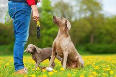 Person with Weimaraner adult dog and puppy Stock Image