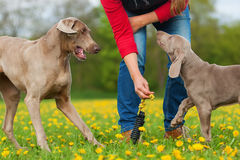 Person with Weimaraner adult dog and puppy Stock Images