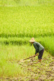 Person working on rice field. In China Royalty Free Stock Photo