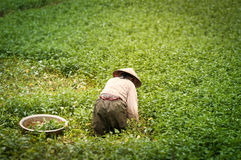 Person working on rice plantation in Vietnam. Royalty Free Stock Image