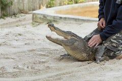 Persona che esegue un'acrobazia con l'alligatore Fotografia Stock