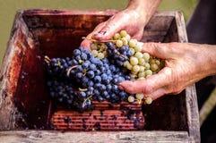 Persona che mette l'uva in vecchia stampa manuale per l'uva schiacciata Fotografia Stock