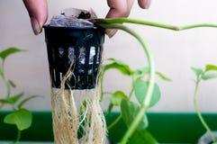 Persona che ostacola le radici della pianta idroponica in vaso netto Fotografie Stock Libere da Diritti