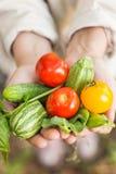 Persona che tiene le verdure coltivate sul posto di recente selezionate Immagine Stock Libera da Diritti