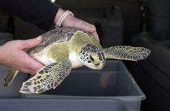 Persona con la tortuga de mar verde Fotos de archivo