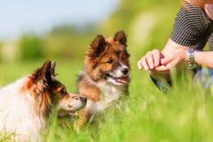 Persona con un Elo adulto e un cucciolo di Elo immagini stock libere da diritti