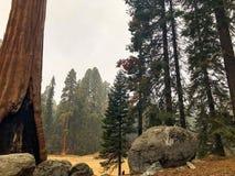Persona minúscula y árbol gigante en el parque nacional de Seqoia Fotografía de archivo
