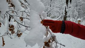 Persona que camina en bosque del invierno, tocando los árboles nevados, disfrutando del tiempo