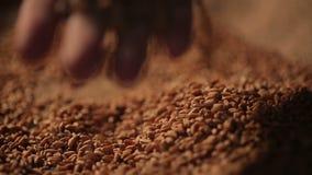 Persona que disfruta del tacto de las semillas del trigo, grano de la cosecha de la mano cuidadosamente, agricultura almacen de metraje de vídeo