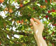 Persona que escoge la fruta roja del mirabel Foto de archivo libre de regalías
