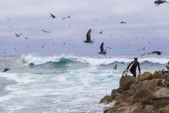 Persona que practica surf en rocas entre pájaros de agua numerosos gaviotas y pájaros que se sientan en las rocas, Monterey, Cali Foto de archivo libre de regalías