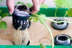 Persona que soporta las raíces de la planta hidropónica en el pote neto Imagen de archivo