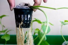 Persona que soporta las raíces de la planta hidropónica en el pote neto Fotos de archivo libres de regalías