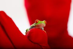 Persona roja, rana de árbol Eyed roja imagen de archivo