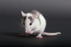 Personal hygiene. Very small house black and white rat washes Royalty Free Stock Images