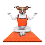 Personal yoga trainer dog Stock Image