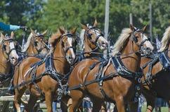 Personas de los caballos de bosquejo belgas en el país justo Foto de archivo