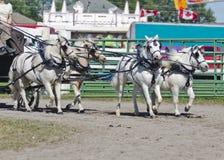 Personas del caballo blanco de las miniaturas en harness Fotos de archivo