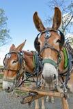 Personas del caballo de la mula Foto de archivo libre de regalías