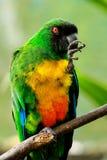 Personata Prosopeia Мускус-попугая серы-Breasted Стоковые Фотографии RF