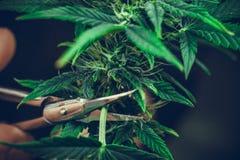 Personbrämen lämnar av medicinsk närbild för marijuanaväxt Cannabisväxt som inomhus växer royaltyfria foton