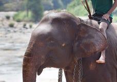 Personenvervoerolifant in Rivier royalty-vrije stock afbeelding