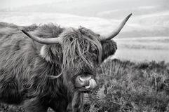 Personlig hygien av en skotsk h?glands- ko som bor p? hedland royaltyfria bilder