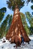 Personne appréciant le séquoia NP Image stock