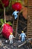 Personnes de jouet recueillant des fraises Images libres de droits