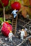 Personnes de jouet recueillant des fraises Images stock