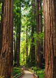 Personnes de Muir Woods Giant Trees Little Photographie stock libre de droits