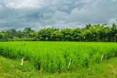 Personnes locales de gisement de riz pendant le matin en Thaïlande Images libres de droits
