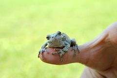 Persons Hand Holding Grey Tree Frog. The hand of a person is holding a Female Grey Tree Frog Outside Stock Photos