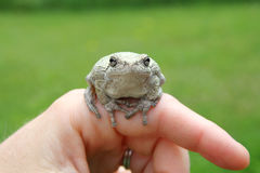 Persons Hand Holding Grey Tree Frog Royalty Free Stock Photo