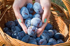 Persons hands putting fresh plums into the basket Royalty Free Stock Photography