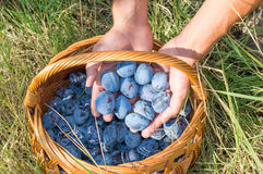 Persons hands putting fresh plums into the basket Stock Photography