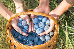 Persons hands putting fresh plums into the basket Royalty Free Stock Images