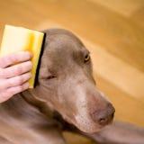 Persoon die een hond wassen Stock Afbeelding