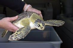 Persoon met groene overzeese schildpad stock foto's