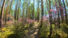 Persoonlijk perspectief van het lopen op een weg in de bos Roze bloemen, timelapse stock footage