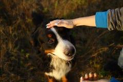 Persoonshand die een hondhoofd houden Groen gras en gele achtergrond stock fotografie