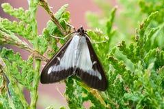 Perspectalis adulti di Cydalima del lepidottero dell'albero della scatola Immagine Stock Libera da Diritti
