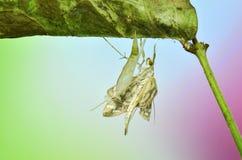 Perspectata Nausinoe сумеречницы Стоковое Изображение RF
