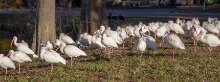 Perspectief van grote groep witte ibisvogels die wordt geschoten Stock Afbeeldingen